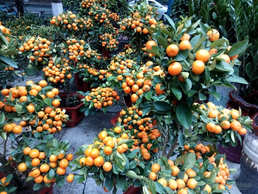 6盆景造型桔子.jpg